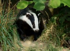 Badger surrounded by leaves and grass