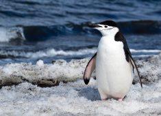 Penguin in snow.