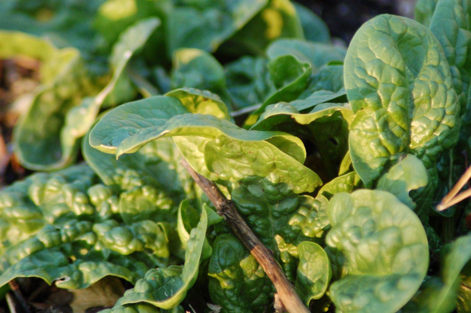 Шпинат выращивание и уход в открытом грунте 48