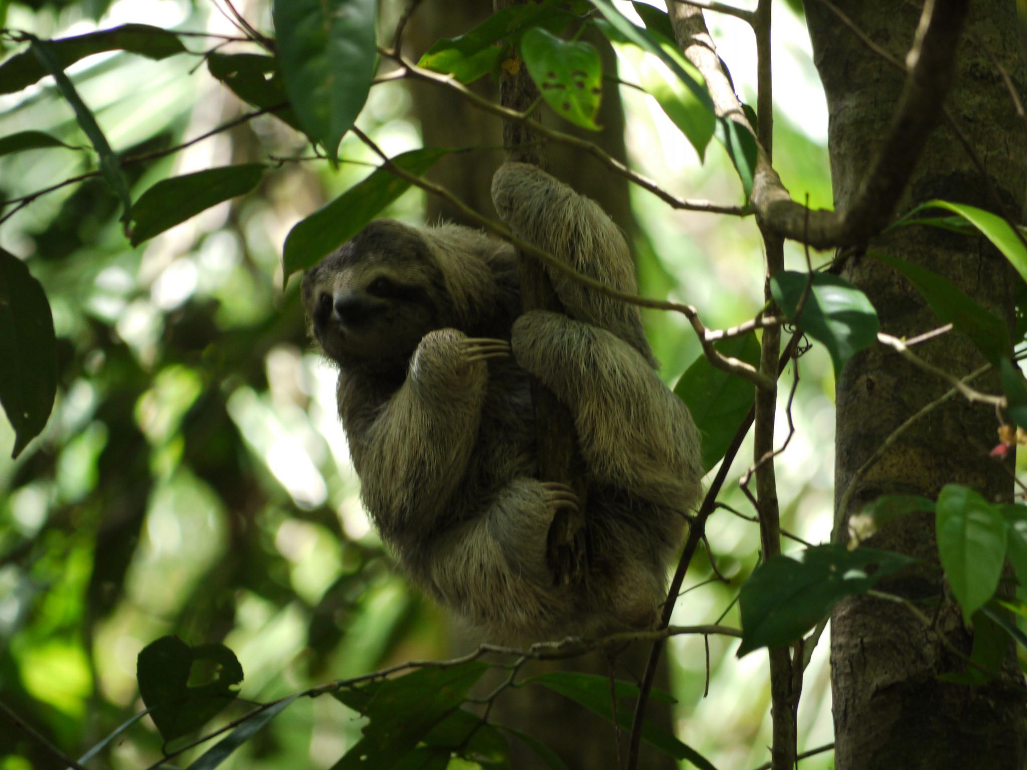 Sloth in rainforest
