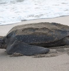 Leatherback turtle on beach