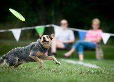 Dog enjoying frisbee